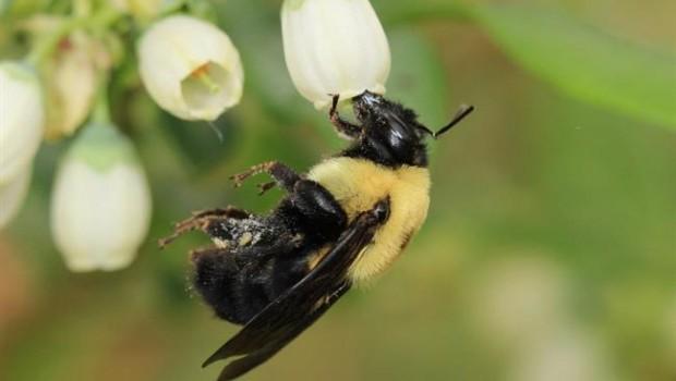 ep abeja bombus griseocollis polinizandoflorarandano