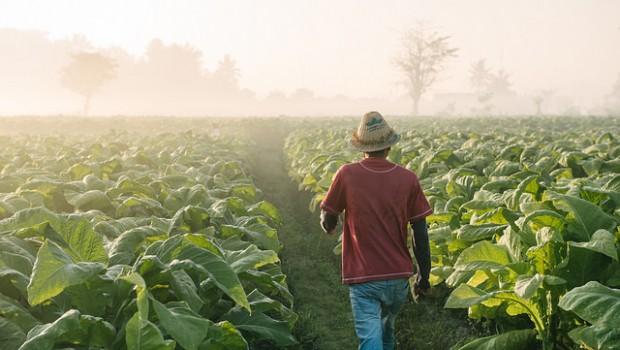 british american tobacco fields